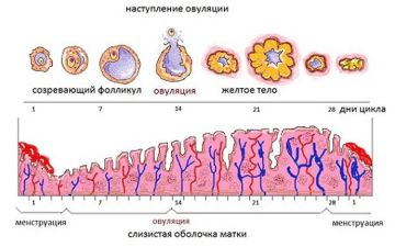 Какую толщину эндометрия можно считать нормой согласно дням цикла