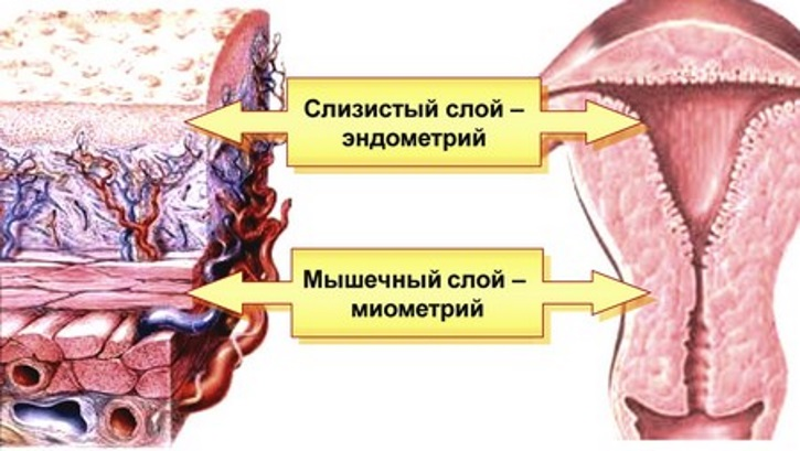 Расположение миометрия и эндометрия в матке