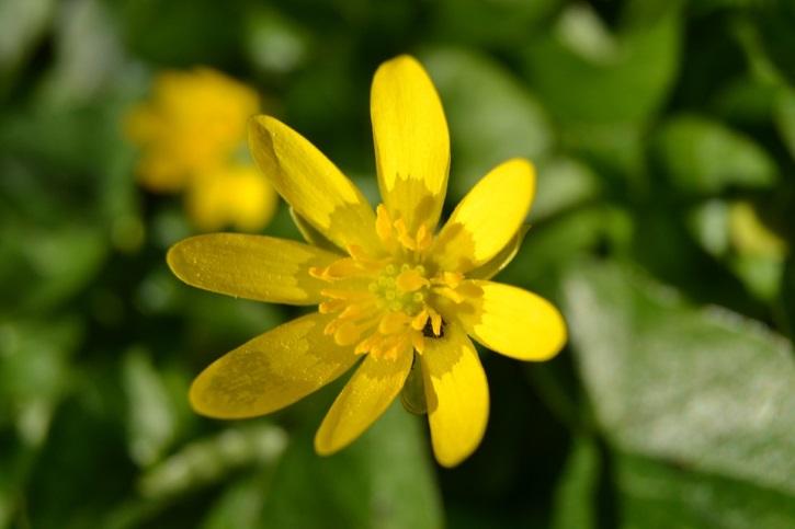 Сбор чистотела в период цветения