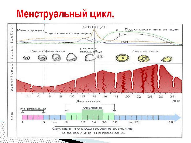 Нормализация менструального цикла при поликистозе