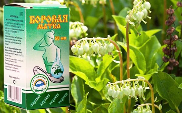 боровая матка лекарственная трава