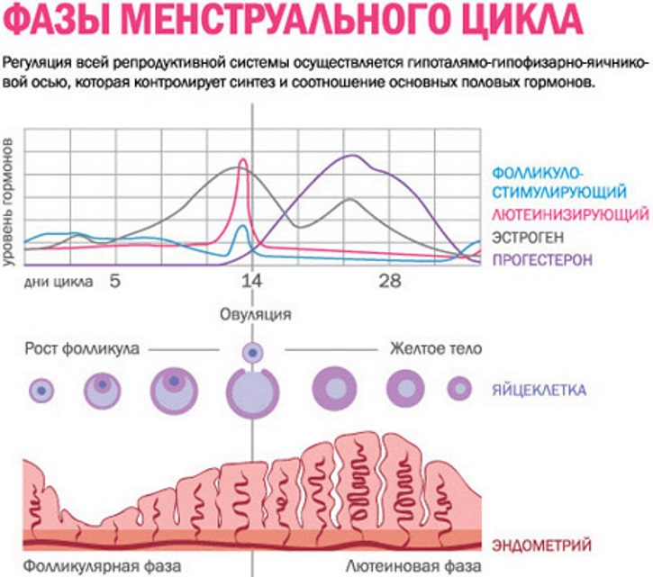 Эндометрий по дням цикла