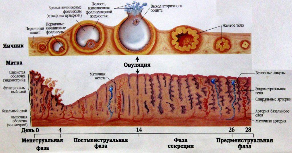 Гинекология структура неоднородная