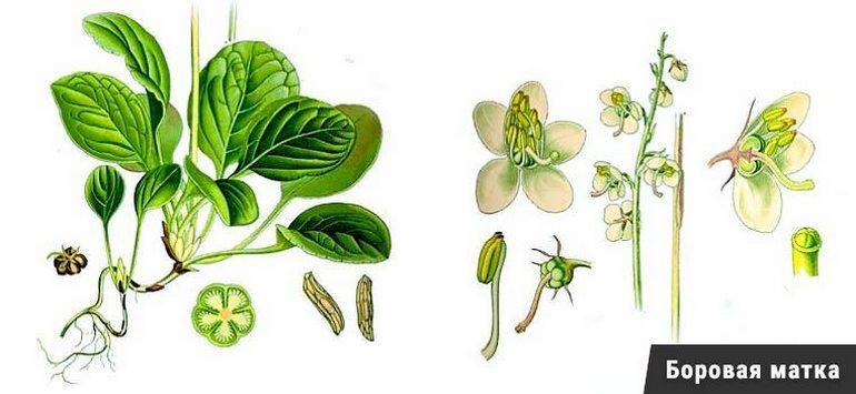 лечение эндометриоза травами