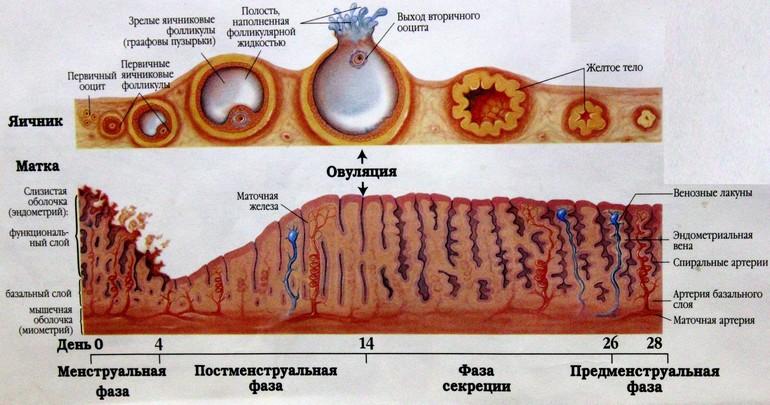 слои эндометрия фазы цикла